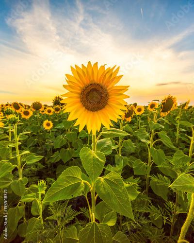 Vibrant sunflower field in sunset