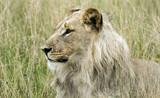 majestic lion - 193550342