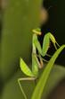 Green mantis, Bangalore, Karnataka.