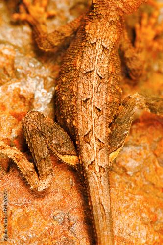 Fotobehang Kameleon Fan throated lizard, Sitana sp., Bhoramdeo Wildlife Sanctuary, Chhattisgarh