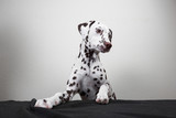 a Dalmatian dog leans his legs on a table against a white wall background. young cute dog. looking away