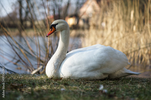 Aluminium Zwaan A large white swan (Cygnus olor) sits on the shore of a pond.