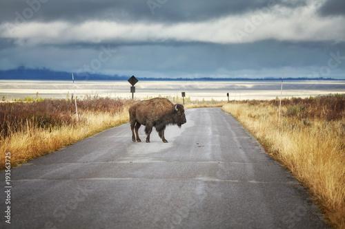 Fotobehang Bison American bison on a road in Grand Teton National Park, Wyoming, USA.