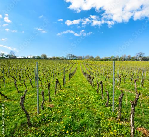 Fotobehang Wijngaard Weinberg im Frühling, Löwenzahn blüht zwischen den Weinstöcken