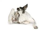 Hund Kratzt Sich Wall Sticker
