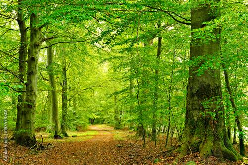 Wanderweg durch Naturnahen Buchenwald, große alte Bäume, Müritz-Nationalpark - 193573306