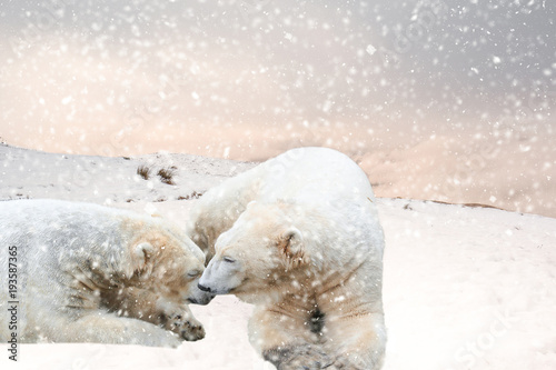 Aluminium Ijsbeer Polar bears in the snow being affectionate