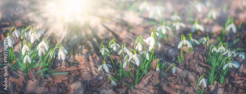 Przebiśniegi na wiosnę