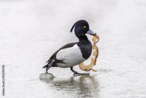 pojedyncza kaczka z chlebem w dziobie na szarym tle, biało czarna kaczka na lodz Poster