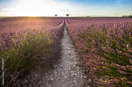 In de dag Lavendel Big lavender field on sunset
