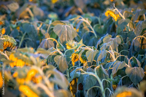 Fototapeta Beautiful sunflower field