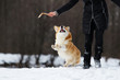 dog welsh corgi in winter