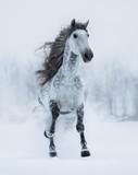 Runnig dapple-grey long-maned stallion in winter. - 193610702