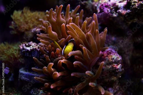 Clarkii Clownfish (Amphiprion clarkii)