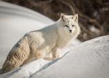 Arctic Fox - Vulpes Lagopus - Resting In The Snow - 193628310