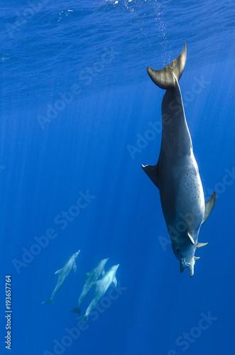 Fotobehang Dolfijn dauphin plongeur