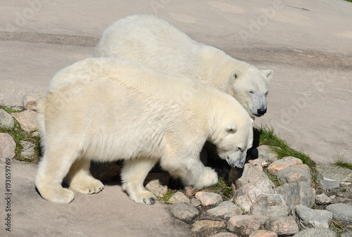 Aluminium Ijsbeer Two polar bears (mother and son)