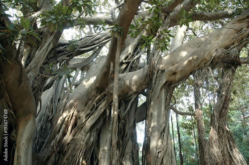Palermo Palerme (Sicile) Ficus Magnolioide, jardin Garibaldi