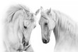 Couple of white horse on white background