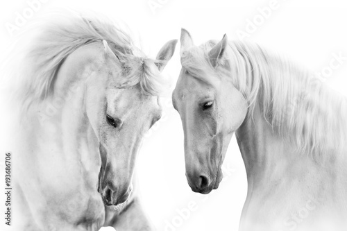 Fototapety, obrazy : Couple of white horse on white background