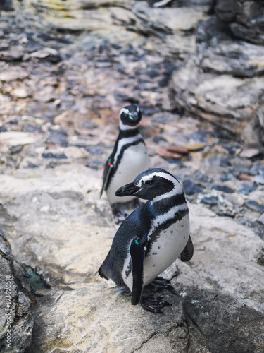 Aluminium Pinguin Two african penguins on rocks. close up