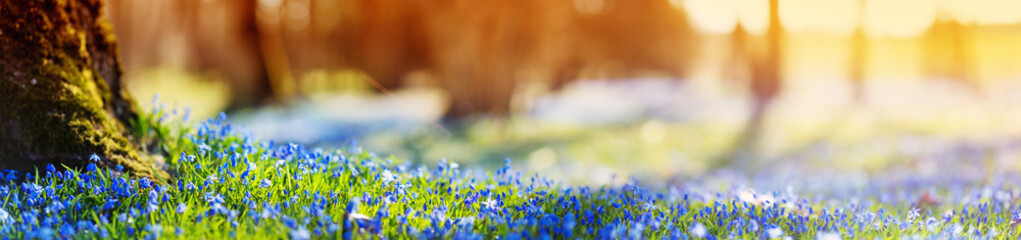 Panoramic view to spring flowers in the park. Scilla blossom on beautiful morning with sunlight in the forest in april © candy1812