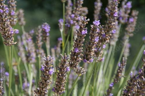 Fotobehang Lavendel lavande2