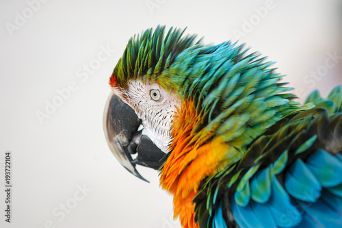 Fotobehang Papegaai A colorful macaw ruffling it's feathers.
