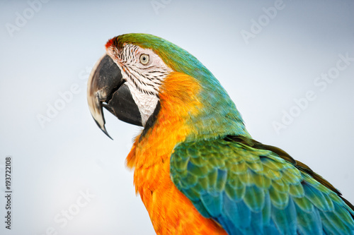 Aluminium Papegaai A portrait of a colorful Macaw taken in the Bahamas on Farmer's Cay.