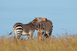 Cape mountain zebras (Equus zebra) in grassland, Mountain Zebra National Park, South Africa.