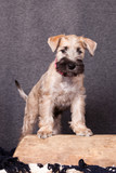 Irish Soft Coated Wheaten Terrier on a gray background - 193734584