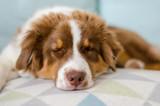 Puppy of australian shepherd sleeping on the bed