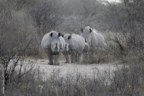 Plexiglas Neushoorn Troupeau de rhinocéros au Botswana