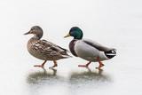 Dwie kaczki spacerują po lodzie, Kaczor i kaczuszka na szarym tle, para kaczek