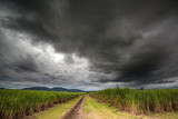 Storm in the cane fields - 193747119