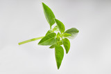 Basil bunch on white background - 193750178