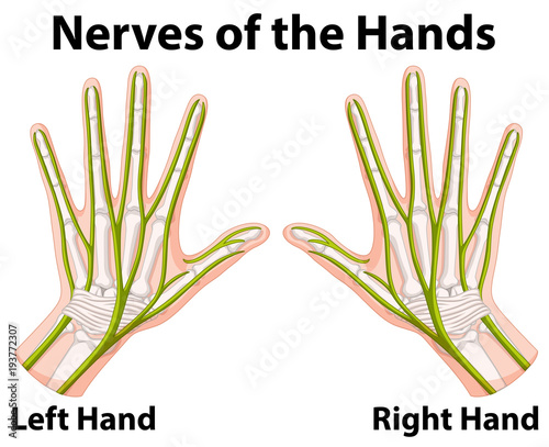 Aluminium Kids Diagram showing nerves of the hands