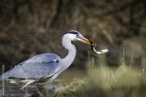 Grey Heron / Ardea cinerea Poster