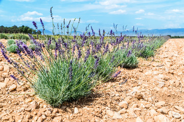 Field of young lavender flowering plants. Blue sky at the background.