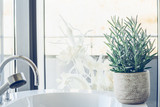 Hose plant succulent  Senecio serpens or Blue Chalksticks in bathroom, close up. Kleinia mandraliscae - 193789316