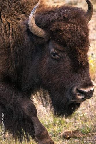 Fotobehang Bison Bison in Yellowstone National Park