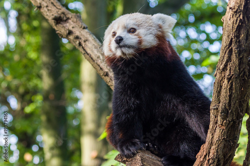Plexiglas Panda red panda in the zoo of Duisburg