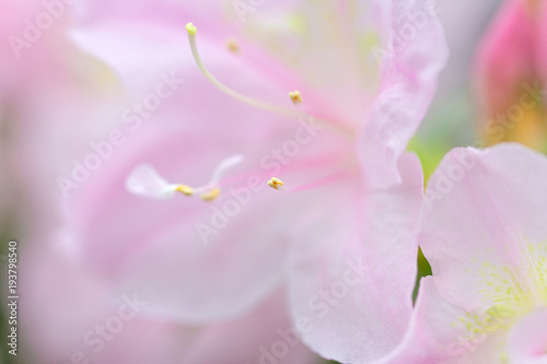 blur floral background lush fresh pink azalea flowers