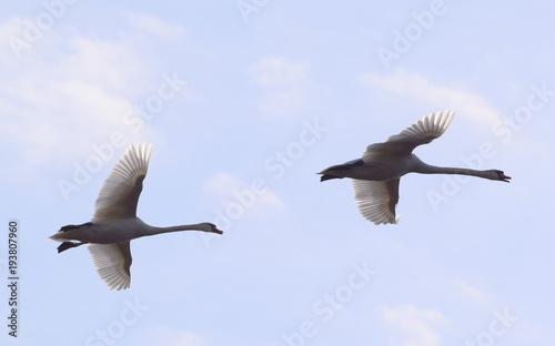 Aluminium Zwaan Two Swan Flying Overhead