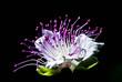 fiori capperi