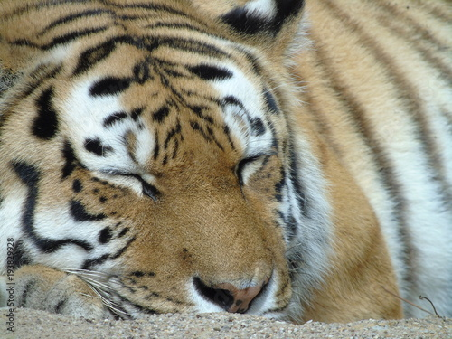 Aluminium Tijger Sibirischer Tiger
