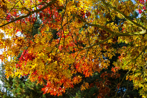Maple tree with golden and red autumn leaves © Wojciech