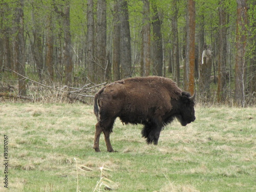 Fotobehang Bison Plains Bison shedding Winter Coat