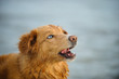 Nova Scotia Duck Tolling Retriever dog outdoor portrait against water