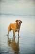 Nova Scotia Duck Tolling Retriever dog outdoor portrait standing on wet sand beach